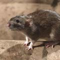 Johnson Group Rodent Control
